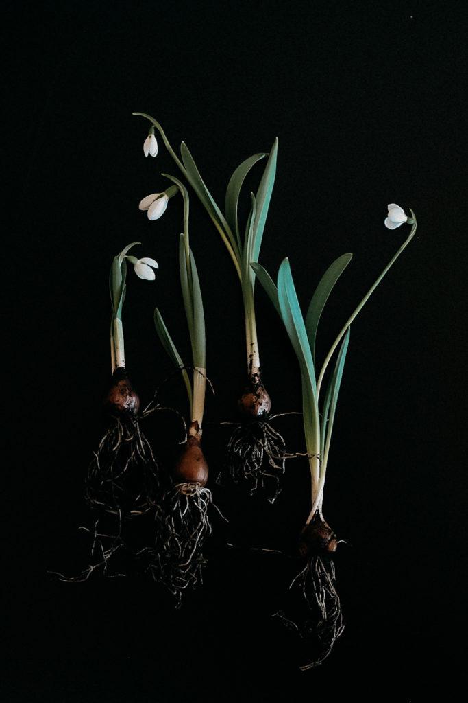 Snowdrops, Schneeglöckchen, Prints, Andrea Staska