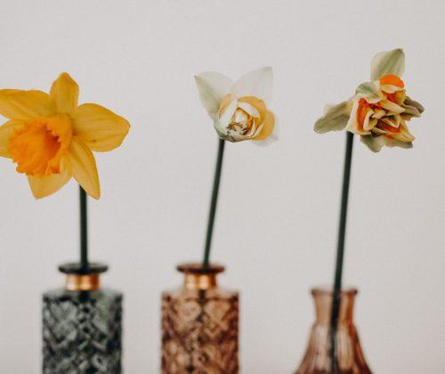 Daffodils, Narzissen, Fakten zu Narzissen, Osterglocken, Schnittblumen