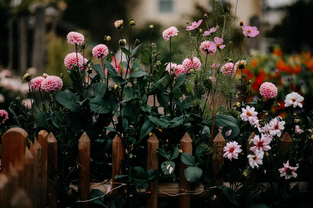 Herbstgarten, Dahlien, Cosmea, Herbstanemone